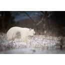 CP Eisbär